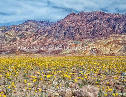 Hoa vàng rực rỡ ở Thung Lũng Chết