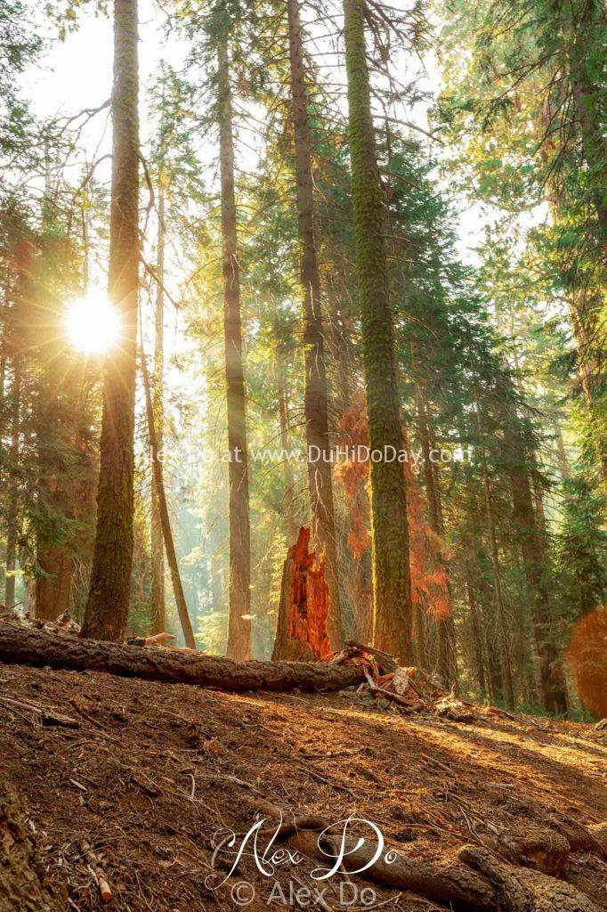 Rừng Sequoia trong nắng